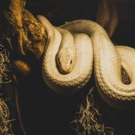 Curiosidades sobre as principais espécies de cobras de estimação