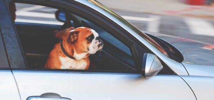 Dicas para transportar cães e gatos